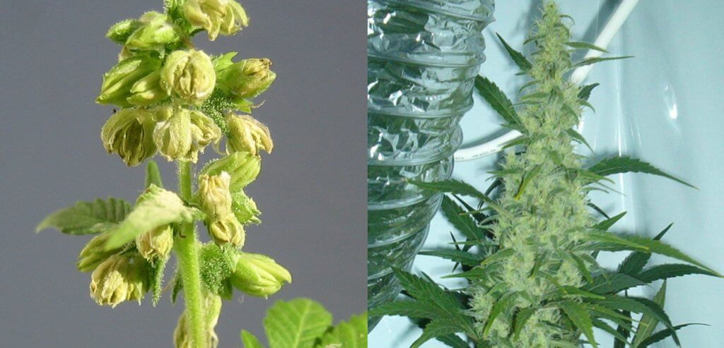 Male cannabis plants sprout seeds, whereas female cannabis plants sprout flowers. Look at the difference.
