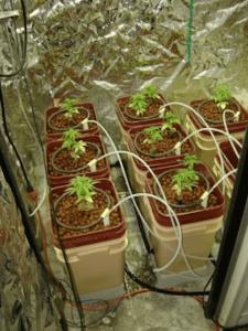 Hydroponic Cannabis