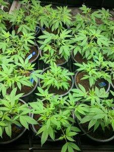 Soil Grown Cannabis
