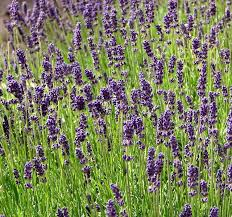 Linalool gives cannabis strains a distinct aroma