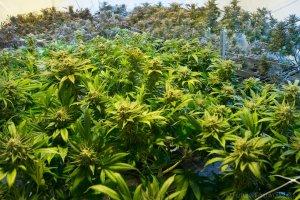 natural marijuana